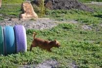 Banksia Park Puppies Willbee - 19 of 29
