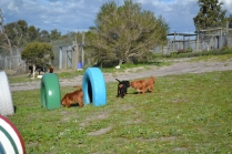 Banksia Park Puppies Willbee - 24 of 29