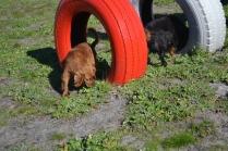Banksia Park Puppies Willbee - 26 of 29