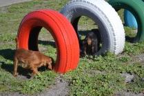 Banksia Park Puppies Willbee - 27 of 29