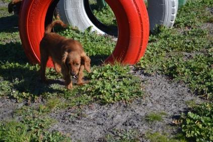 Banksia Park Puppies Willbee - 28 of 29