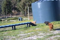 Banksia Park Puppies Willbee - 7 of 29
