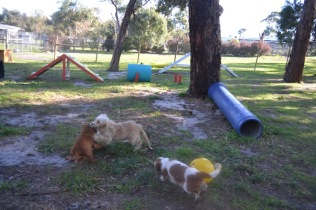 Banksia Park Puppies Shimmer