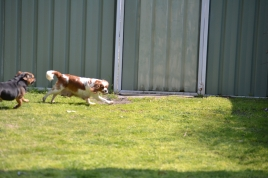 Starlet-Cavalier-Banksia Park Puppies - 1 of 25