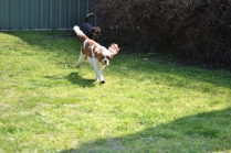 Starlet-Cavalier-Banksia Park Puppies - 10 of 25