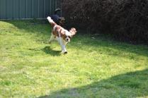 Starlet-Cavalier-Banksia Park Puppies - 10 of 25