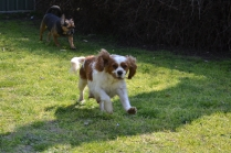 Starlet-Cavalier-Banksia Park Puppies - 11 of 25
