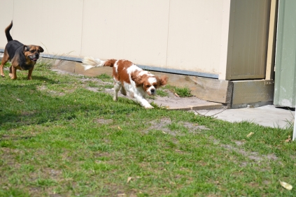 Starlet-Cavalier-Banksia Park Puppies - 12 of 25