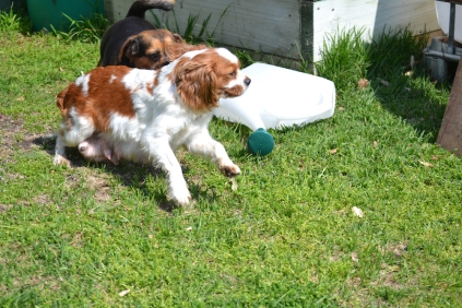 Starlet-Cavalier-Banksia Park Puppies - 15 of 25