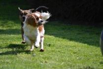 Starlet-Cavalier-Banksia Park Puppies - 16 of 25