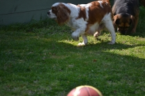 Starlet-Cavalier-Banksia Park Puppies - 17 of 25