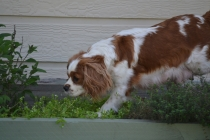 Starlet-Cavalier-Banksia Park Puppies - 18 of 25