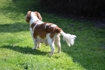 Starlet-Cavalier-Banksia Park Puppies - 19 of 25