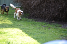 Starlet-Cavalier-Banksia Park Puppies - 2 of 25