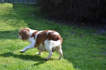 Starlet-Cavalier-Banksia Park Puppies - 20 of 25