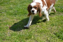 Starlet-Cavalier-Banksia Park Puppies - 22 of 25