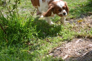 Starlet-Cavalier-Banksia Park Puppies - 25 of 25