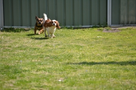 Starlet-Cavalier-Banksia Park Puppies - 3 of 25