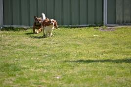 Starlet-Cavalier-Banksia Park Puppies - 3 of 25