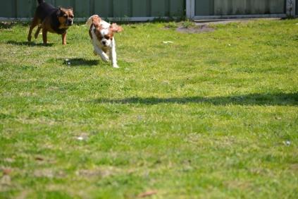Starlet-Cavalier-Banksia Park Puppies - 4 of 25