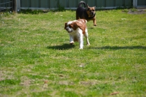 Starlet-Cavalier-Banksia Park Puppies - 5 of 25