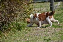 Starlet-Cavalier-Banksia Park Puppies - 6 of 25