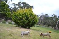 Banksia Park Puppies Kimi