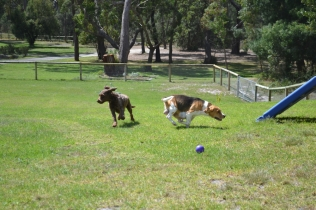 Banksia Park Puppies Bobbity
