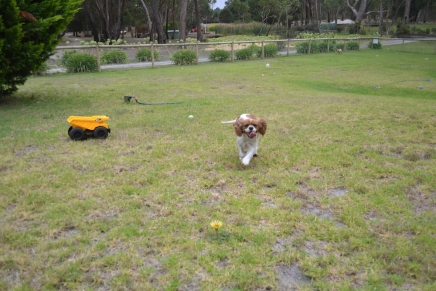 Banksia Park Puppies Miami
