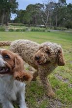 Banksia Park Puppies Miami