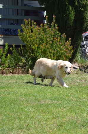 Banksia Park Puppies Opal