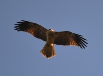 Banksia Park Puppies Hawks/falcons