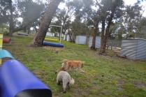 banksia-park-puppies-ariel-13-of-20