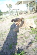 Banksia Park Puppies Avril