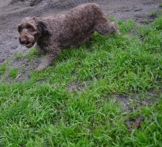 Banksia Park Puppies Bailey Whoopy - 10 of 34