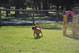 Banksia Park Puppies Buffy