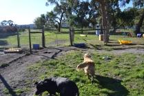 Banksia Park Puppies Elle Char 1