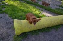 Banksia Park Puppies jumping Mami 4