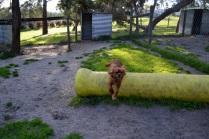 Banksia Park Puppies jumping Mami 5