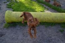 Banksia Park Puppies jumping Mami