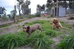 Banksia Park Puppies June