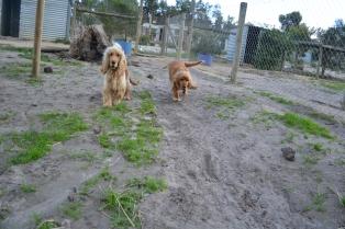 Banksia Park Puppies Mabel