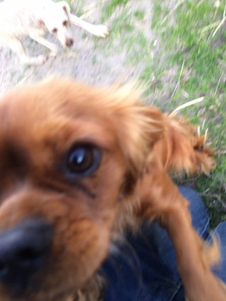 Banksia Park Puppies Mami
