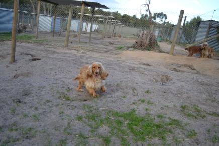 Banksia Park Puppies Sara