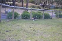 Banksia Park Puppies Omi