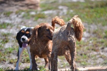 Banksia Park Puppies Poppy - 1 of 24 (1)