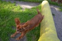 Banksia Park Puppies running Mami 2