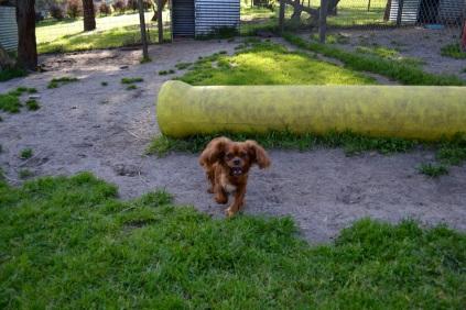 Banksia Park Puppies running Mami 6