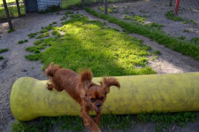 Banksia Park Puppies running Mami