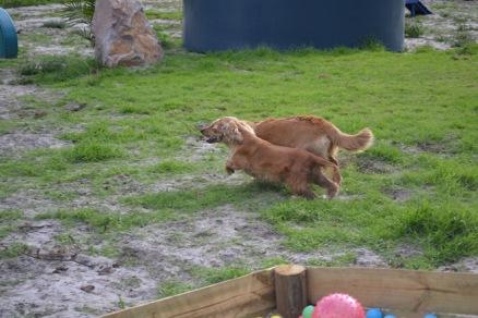 Banksia Park Puppies Sara - 1 of 39